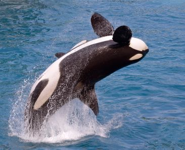 Canva - Killer whale jumping out of water