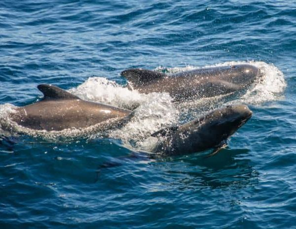 Bretagne dauphins