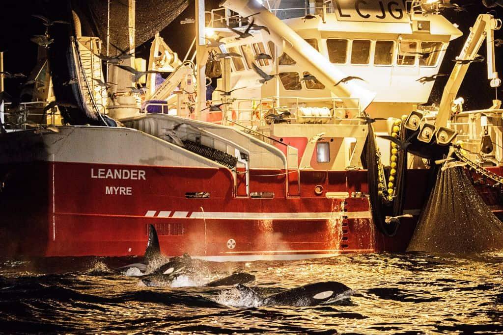 Nager avec les orques en Norvège Expédition Arctique sur un bateau - chalutier pêche harengs
