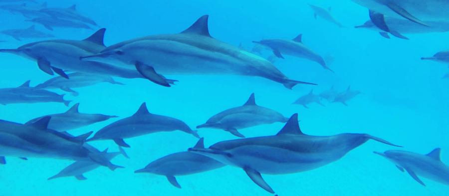 dauphin à long bec