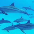 sataya reef dolphins