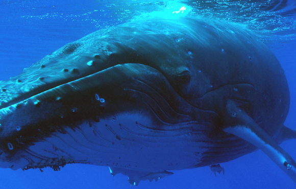 Nager avec les baleines & dauphins à La Réunion