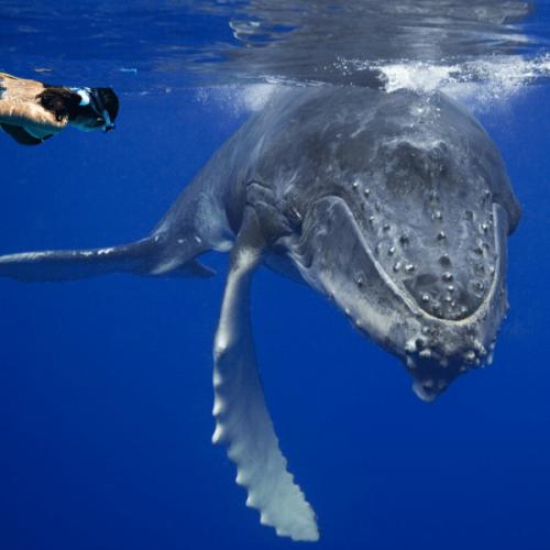 Nager avec les baleines & les dauphins à Moorea
