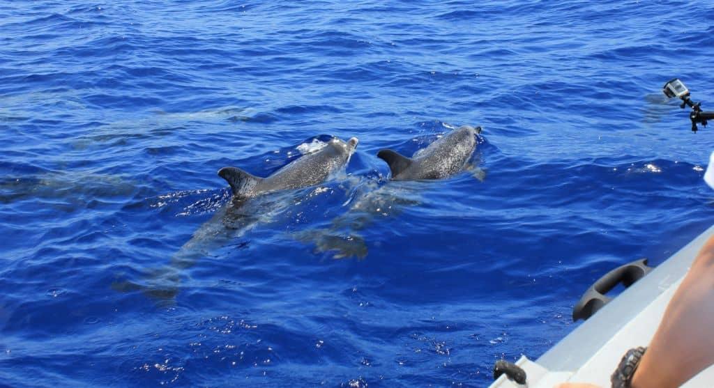voir dauphins du bateau