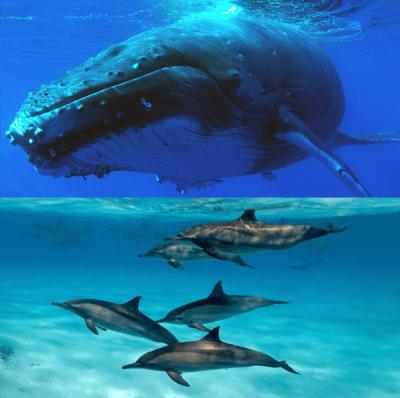 Baleines, dauphins et splendeurs volcaniques de La Réunion en liberté