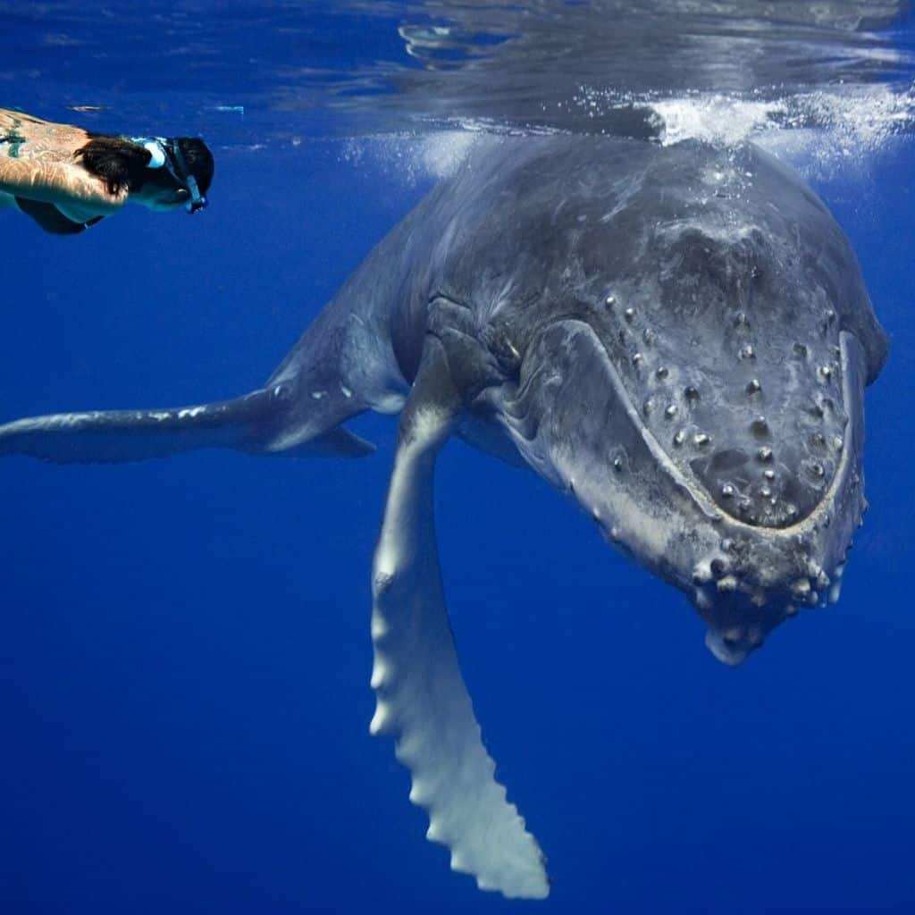 nager avec les baleines à Moorea voyages aventure