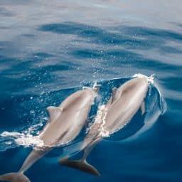où nager avec les dauphins en Guadeloupe