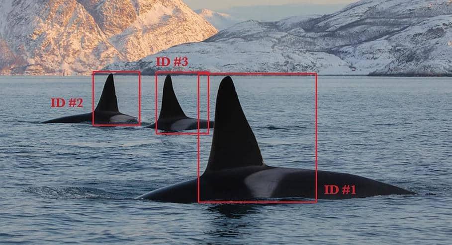orques Norvège photo-identification